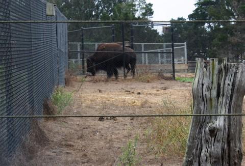 19-bison