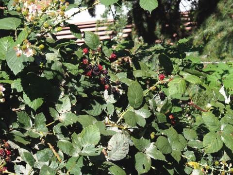 Blackberries on the way up?