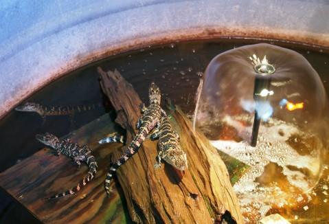 4-baby-gators