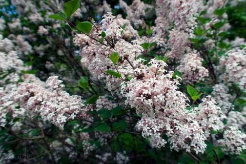 38 lilac